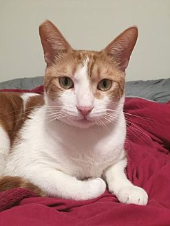 Domestic Shorthair Cat for adoption in Alameda, California - Ace