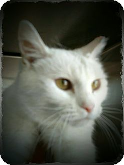 Domestic Shorthair Cat for adoption in Pueblo West, Colorado - Lorelei