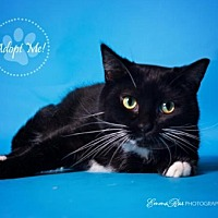 Domestic Shorthair Cat for adoption in Mt. Clemens, Michigan - Salem
