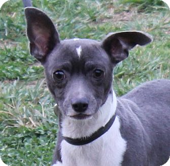 Rat Terrier Mix Dog for adoption in Colonial Heights, Virginia - Thora