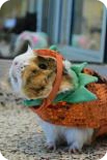 Guinea Pig for adoption in Aiken, South Carolina - Piggy