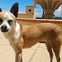 Chihuahua Mix Dog for adoption in Wildomar, California - Annabell