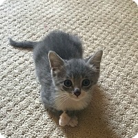 Adopt A Pet :: Samantha - Knoxville, TN