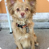 Papillon/Pomeranian Mix Dog for adoption in Santa Ana, California - Max