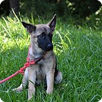 Adopt A Pet :: Serena - South Dennis, MA