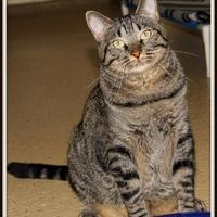 Domestic Mediumhair/Domestic Shorthair Mix Cat for adoption in Glendale, Arizona - Layla