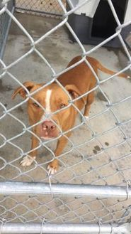 American Pit Bull Terrier Mix Dog for adoption in Kiln, Mississippi - DELIA