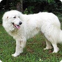 Great Pyrenees Dog for adoption in Spring Valley, New York - DAISY MAE