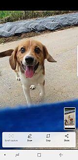 Beagle Mix Puppy for adoption in Oakton, Virginia - Choc