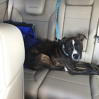 Adopt A Pet :: Lil Tig - Avon, OH