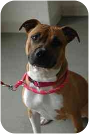 American Pit Bull Terrier Dog for adoption in Walker, Michigan - Dutchess