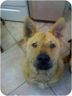 Chow Chow Mix Dog for adoption in Boca Raton, Florida - Chopper