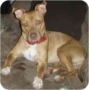 American Pit Bull Terrier/American Staffordshire Terrier Mix Dog for adoption in Gilbert, Arizona - Emma