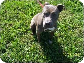 American Staffordshire Terrier Mix Dog for adoption in Shelbyville, Kentucky - Patsy Blue