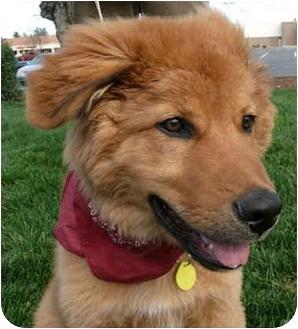 Golden Retriever/Australian Shepherd Mix Puppy for adoption in Sacramento, California - Leo PENDING