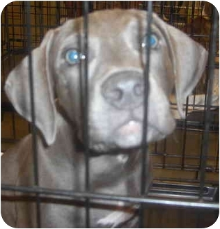 Pit Bull Terrier Puppy for adoption in Mesa, Arizona - Fredrick