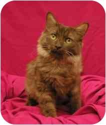 Domestic Mediumhair Cat for adoption in Sacramento, California - Brownie