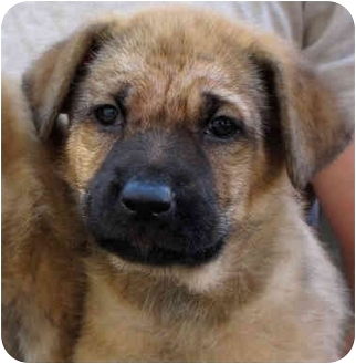 Shepherd (Unknown Type) Mix Puppy for adoption in Vista, California - Penny