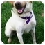 Photo 4 - Labrador Retriever/Australian Cattle Dog Mix Dog for adoption in Latrobe, Pennsylvania - Brady