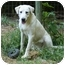 Photo 2 - Great Pyrenees Mix Dog for adoption in Spring Valley, New York - JOJO