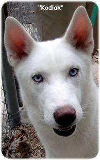 Husky Mix Dog for adoption in Key Largo, Florida - Kodiak