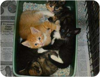 Domestic Shorthair Cat for adoption in Henderson, North Carolina - Cammy and Babies