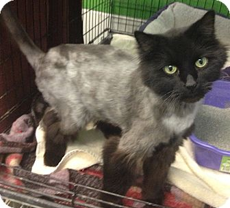 Domestic Longhair Cat for adoption in Schererville, Indiana - Onyx