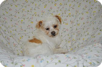 Terrier (Unknown Type, Small) Mix Dog for adoption in Tumwater, Washington - Icy