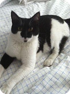 Domestic Shorthair Cat for adoption in Irvine, California - Pria