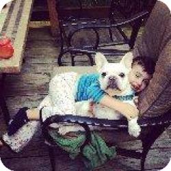 French Bulldog Dog for adoption in Mahopac, New York - Shaymis