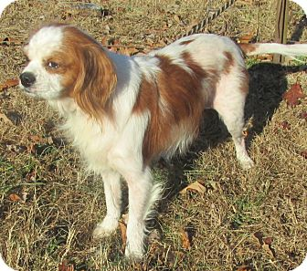 Cavalier King Charles Spaniel Mix Dog for adoption in Elmwood Park, New Jersey - Coco