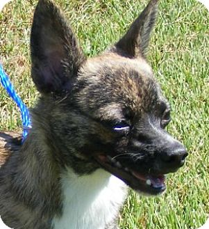 Chihuahua Mix Dog for adoption in Olive Branch, Mississippi - Louie