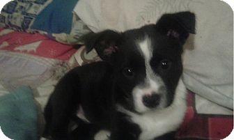 Labrador Retriever Mix Puppy for adoption in Milton, New York - cookie