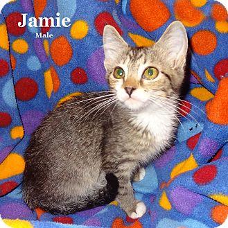 Domestic Shorthair Kitten for adoption in Bentonville, Arkansas - Jamie