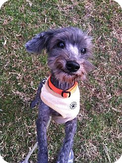 Maltese/Poodle (Miniature) Mix Dog for adoption in Reisterstown, Maryland - Maxx