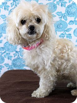 Maltese/Poodle (Miniature) Mix Dog for adoption in Starkville, Mississippi - Portia