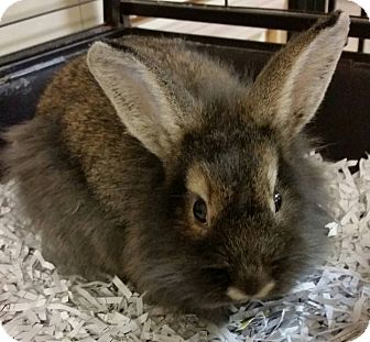 Lionhead Mix for adoption in Struthers, Ohio - Gabrielle 1 YR OLD