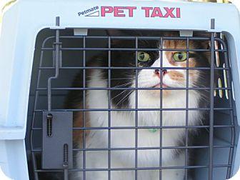 Calico Cat for adoption in DeLand, Florida - CALLI