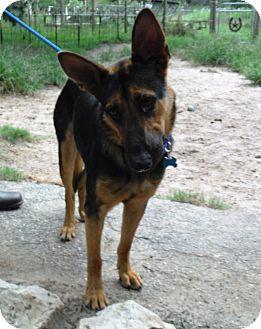 German Shepherd Dog Dog for adoption in SAN ANTONIO, Texas - FRANNIE