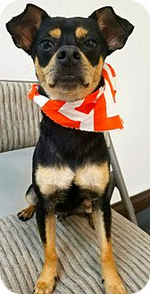Chihuahua/Miniature Pinscher Mix Dog for adoption in Ft Myers Beach, Florida - Hilarious!!!