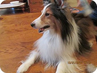 Sheltie, Shetland Sheepdog Dog for adoption in New Castle, Pennsylvania - Dusty 2 (Adopted)