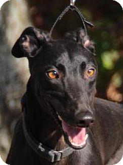 Greyhound Dog for adoption in Nashville, Tennessee - Kelly