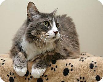 Domestic Mediumhair Cat for adoption in Bellingham, Washington - Sparkle
