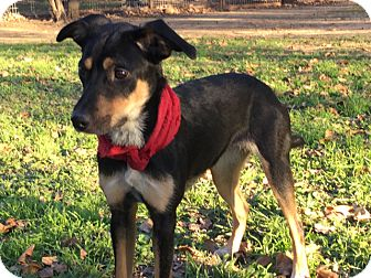 Shepherd (Unknown Type) Mix Dog for adoption in Saddle Brook, New Jersey - Kimmie