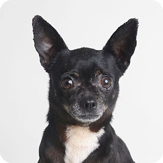 Chihuahua Mix Dog for adoption in Wilmington, Delaware - Kino