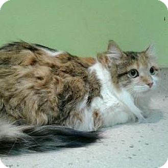 Domestic Longhair Cat for adoption in Janesville, Wisconsin - Harleaux