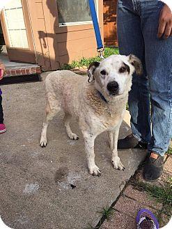 Labrador Retriever/Shepherd (Unknown Type) Mix Dog for adoption in Austin, Texas - Grandpaw