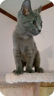Domestic Shorthair Kitten for adoption in Painted Post, New York - Quinley