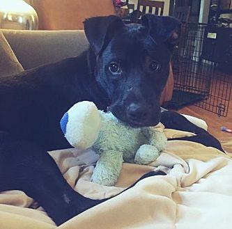 Boxer/Labrador Retriever Mix Dog for adoption in Little Rock, Arkansas - Nino
