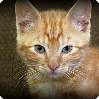 Adopt A Pet :: TigerWhite - Nolensville, TN